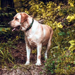 Dog Standing in Coeur d'Alene Bush