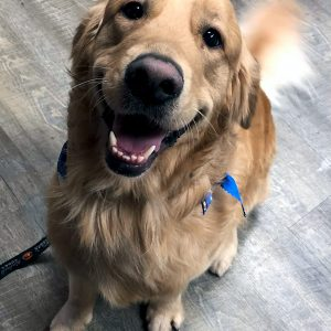 Golden Retriever in CDA after Pet Grooming